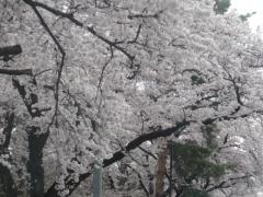 20160402kunitachi-02